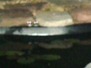 pondtreefrogs