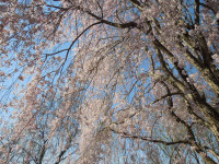 weeping-cherry