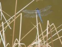 Scheier-dragonfly